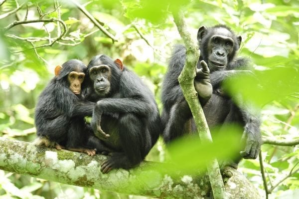 Ecosia helping Chimpanzees in Uganda